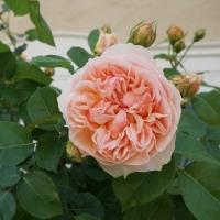 バラが満開の季節になりました!!