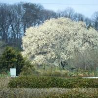 所沢市西郊の大きなハクモクレンが見頃に(埼玉)