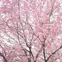 桜✿待ってました!
