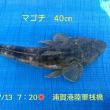 笑転爺の釣行記 7月13日☀ 浦賀港 マゴチ40cm