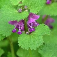 紫色のヒメオドリコソウ