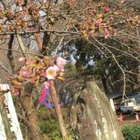 「第65回衣笠さくら祭」衣笠山公園 桜の開花状況 2017年3月24日(金)
