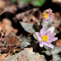 くじゅうに春を告げる ~ 男池周辺の ユキワリイチゲ  開花状況