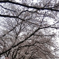 桜 満開 でもお天気が…