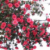 豪華に咲いている、ツバキです