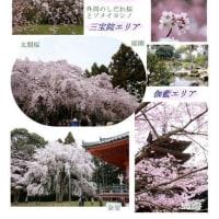 桜の名所めぐり <京都・醍醐寺>