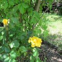 柑橘類の花と由一のバラ