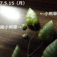 コバンソウ(小判草)とヒメコバンソウ(姫小判草)