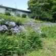 千島公園のアガパンサス