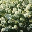 オルレアホワイトレースの種を収穫