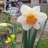 白レンゲソウ 水仙は全盛期 これからは 特にカーネーション ナデシコが華やかになる季節♪