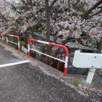 4月23日 桜・落花期