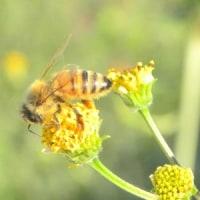 コセンダングサの花の上にセイヨウミツバチ