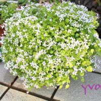 冬の花壇 ダイヤモンドフラワー