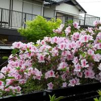 小野なな nanaono  NANAONO    日常のなかで  ツツジの花 石山、大平