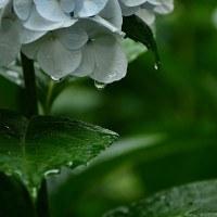 お寺の紫陽花スナップ①