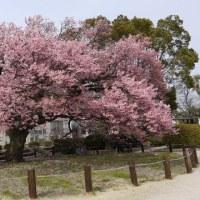 春 花 桜