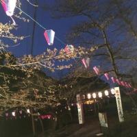 「第65回衣笠さくら祭」衣笠山公園 桜の開花状況 2017年3月27日(月)
