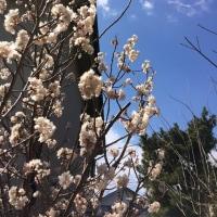 """サクラ咲く~""""熊野三山""""へ行ってきます!!!"""