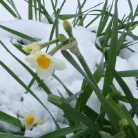 初雪や 水仙の葉の たわむまで   芭蕉