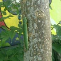 ツマベニの幼虫