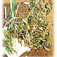 雪害に 遭った こぼれ種 トマト