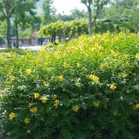 公園の黄色い花