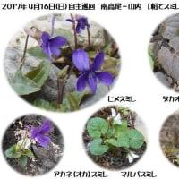 2017.4.16(日) 自主巡回活動  【 南高尾~山内 桜とスミレを楽しもう】