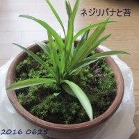 0626  ネジリバナと苔の鉢