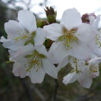 新ひだか町の桜