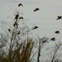 びわ湖畔の雀