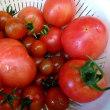 トマトは大玉8株とミニ4株でこれだけの収量