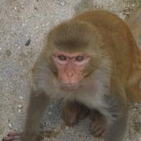 ブラジルの黄熱病、猿の受難