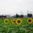昭和記念公園に「向日葵を観に行く」の巻(2017)