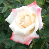 錦江湾公園の薔薇