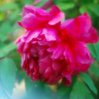 牡丹 (花 4182)