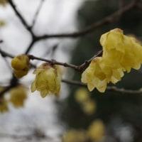 冬の植物園3(ヨシ)