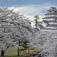 鶴ヶ城のさくら満開・・・