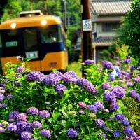 紫陽花の見頃を迎えています!