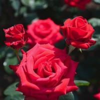 薔薇  (Vol.1439)