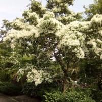 楓池のヒトツバタゴ(ナンジャモンジャ)