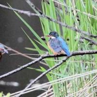 昨日の鳥 カワセミ 最高の日に出会ったのですが、腕が悪く上手く撮影出来ませんでした。