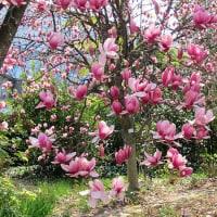 モクレンの咲き乱れる花園