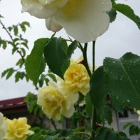 雨に濡れる薔薇🌹