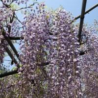 フジの花 Ⅱ