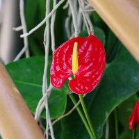 珍花奇花、サトイモ科の花