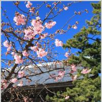 光明寺裏山からの富士山&河津桜