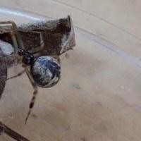 奄美大島のクモ:オオヒメグモ