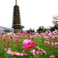 船若寺のコスモスin奈良