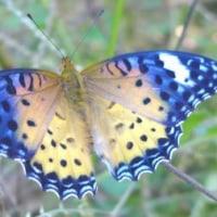 10/27(木)きれいな蝶
